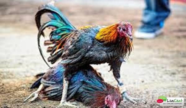 Sabung Ayam S128 Ini Dia Cara Menang
